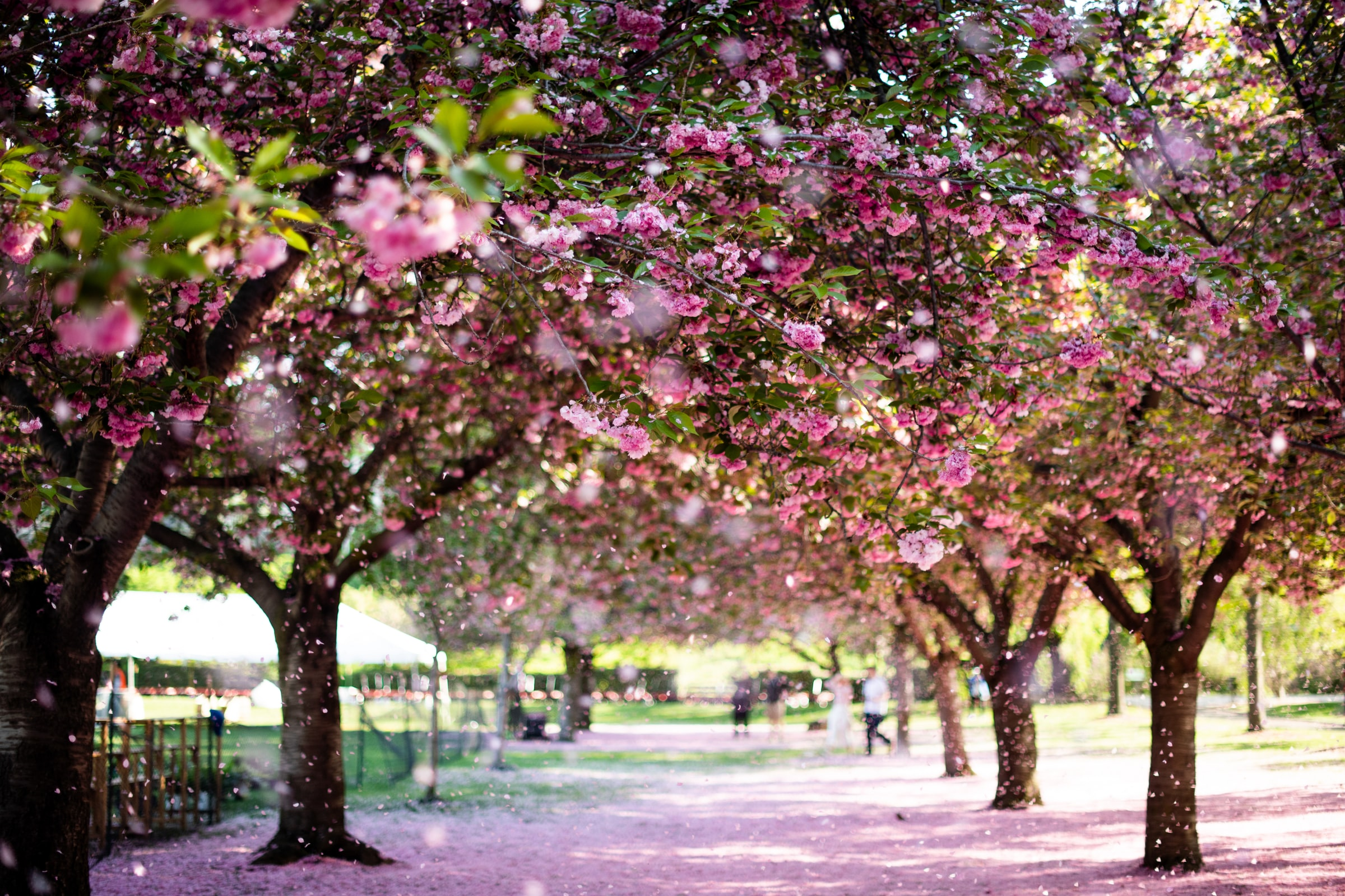 Trees blooming in the Brooklyn Botanic Garden in New York City